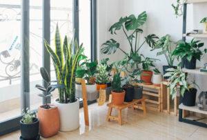 Innendørsplanter i stuen