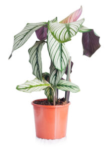 Calathea i brun blomsterpotte