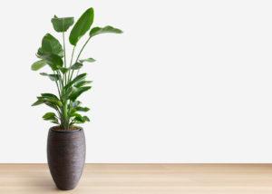 Stor grønn inneplante i en potte