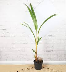 Kokospalme i en sort blomsterpotte