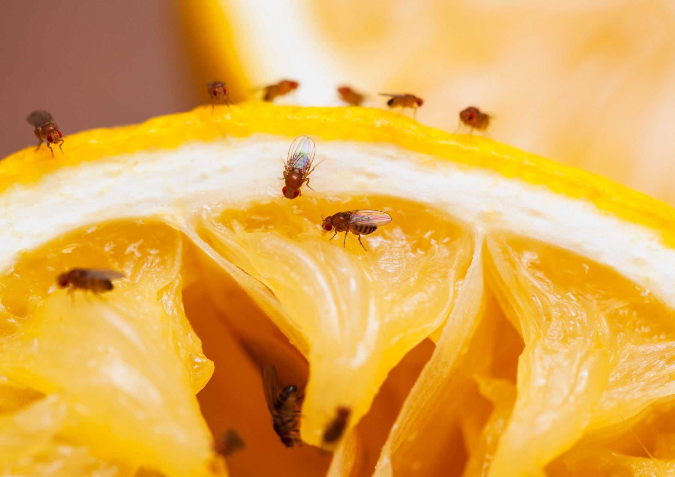 Bananfluer som spiser råtten frukt