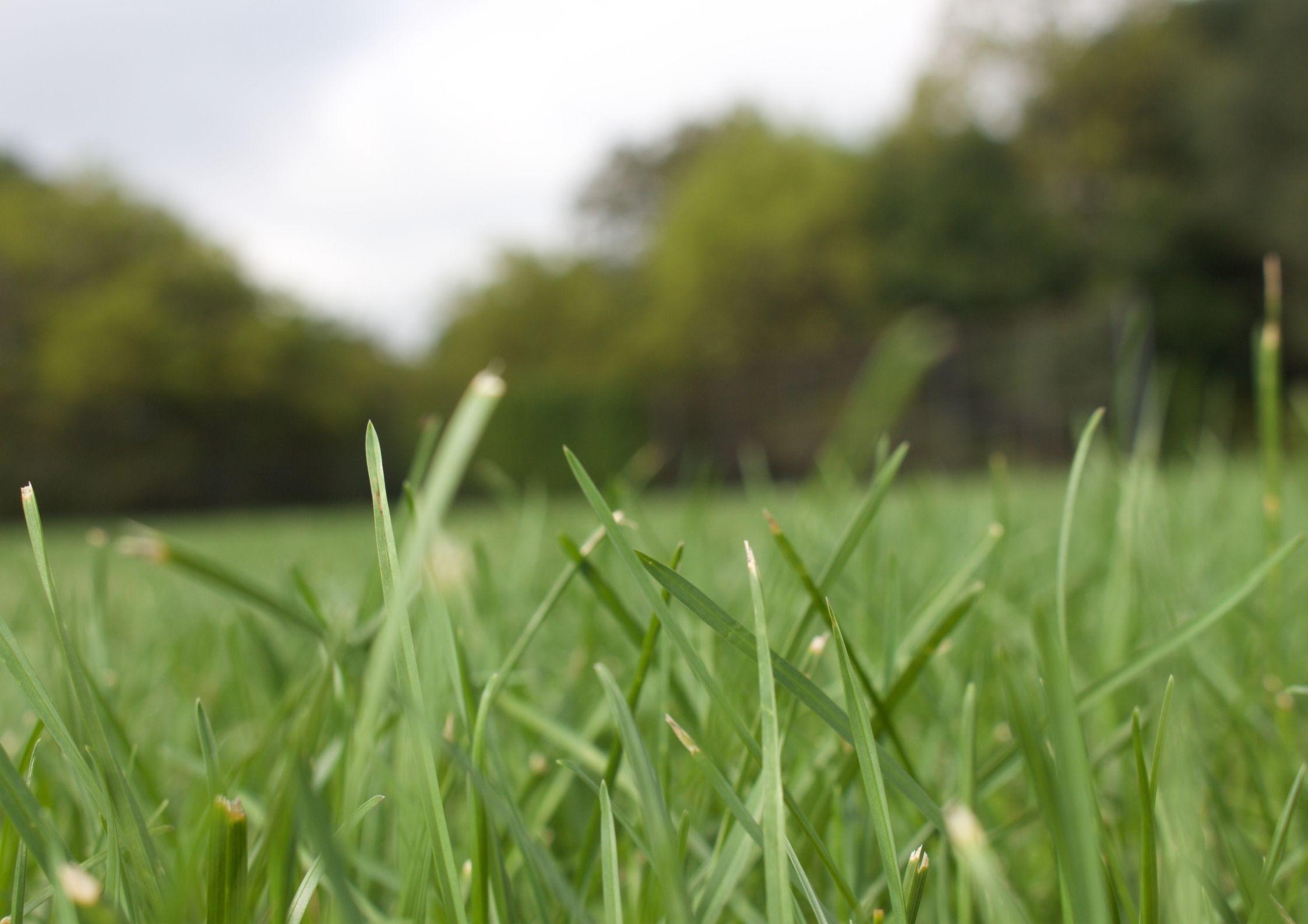 Gress i hagen